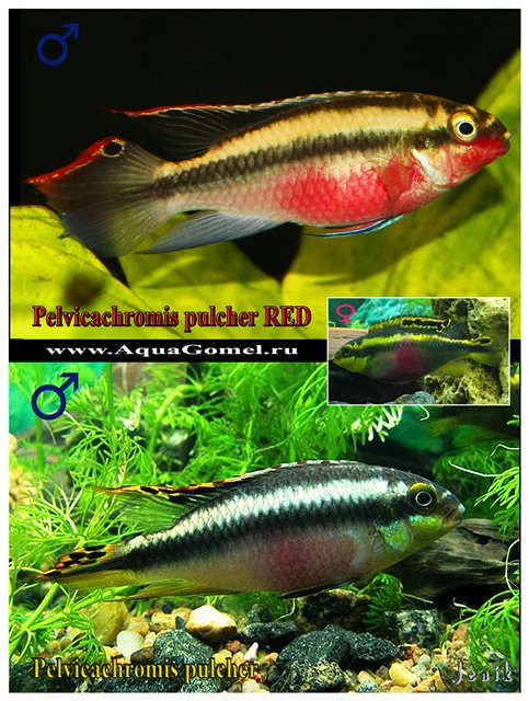 Pelvicachromis pulcher две вариации (краснощекий)