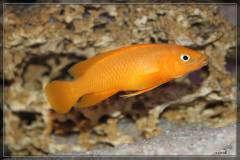 Лампрологус Лилиупи (апельсиновый) Neolamprologus leleupi