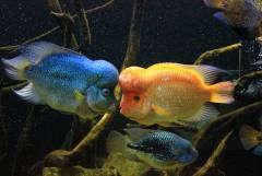 FH VS. Amphilophus citrinellus