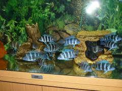 "3 морфы.Frontosa Blue Zaire Mikula, Frontosa blue Zaire ""Moba""Frontosa blue Zaire Mpimba."