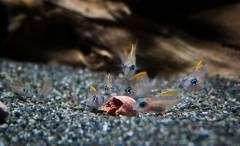 «Lamprologus» caudopunctatus, мальки