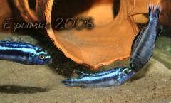 Melanochromis Maingano...