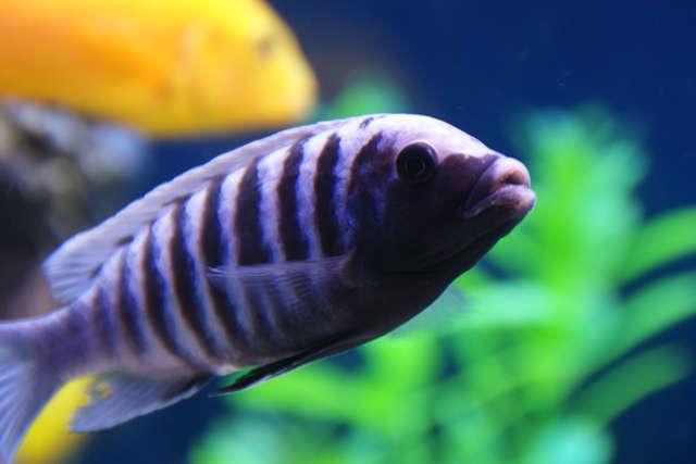 Metriaclima spec. 'zebra blue black Manda'