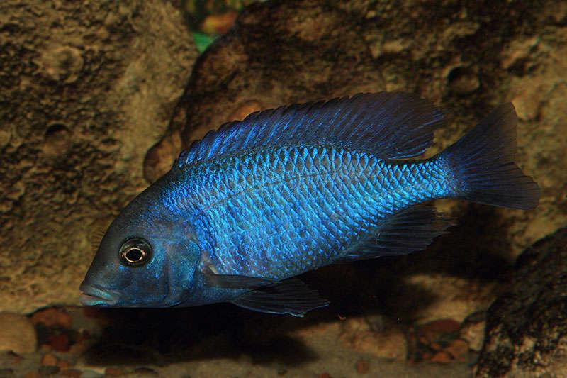 Cyrtacara moorii (самец)
