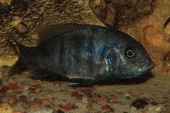Cyrtacara moorii (самочка с икрой во рту)