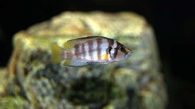 Altolamprologus spec. sumbu shell
