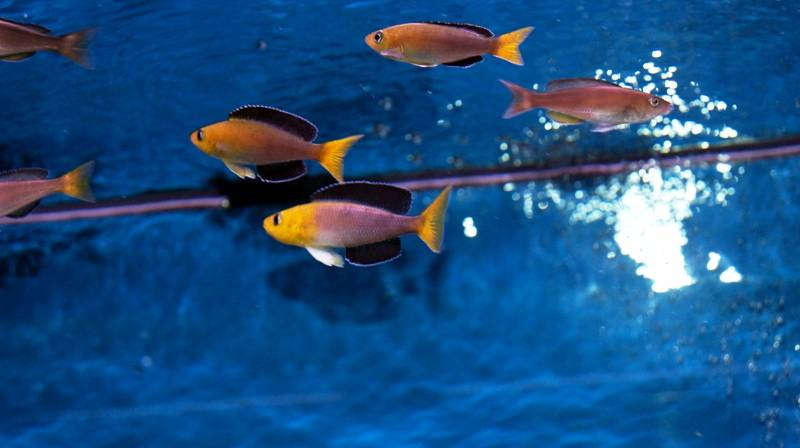 Cyprichromis leptosoma jumbo Yellow Head игры1