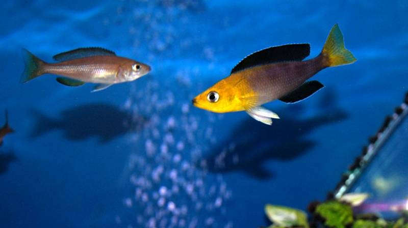Cyprichromis leptosoma jumbo Yellow Head игры