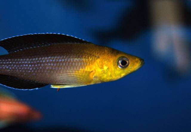 "Cyprichromis sp. ""leptosoma jumbo"" yellow head"
