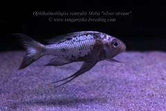 """Ophthalmotilapia ventralis Moba """"silver stream"""" F1"""