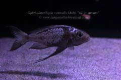 "Ophthalmotilapia ventralis Moba ""silver stream"" F1"