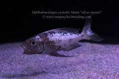 "Ophthalmotilapia ventralis Moba ""silver stream"""