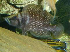 "Altolamprologus calvus ""black"""
