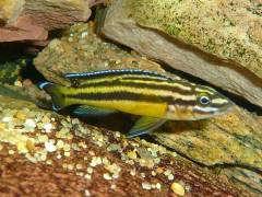 Julidochromis regani 'Kipili'