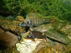"""Altolamprologus calvus """"Black"""" на гнезде, самец и самка"""