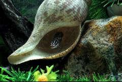 "Julidochromis sp ""Gombi""  Zambia"