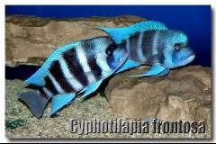 "Мальчишки (Cyphotilapia gibberosa ""Blue Mpimbwe"")"