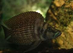 "Atlolamprologus calvus ""Black"""