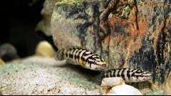 Julidochromis transcriptus Gombe