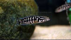 Julidochromis sp. Gombi