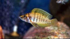 Altolamprologus calvus Yellow (Nkamba bay) молодь