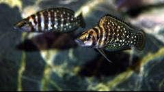 Altolamprologus calvus black pectoral (Congo) - подросток 4-5см