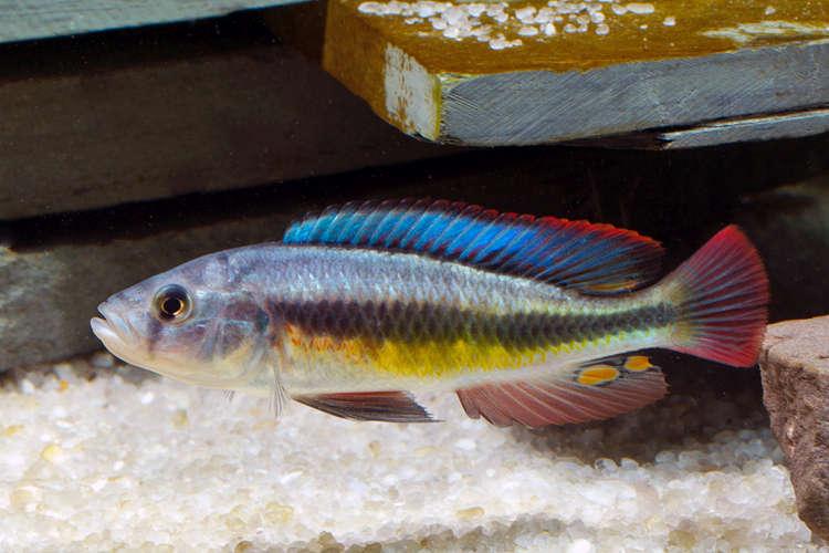 Lipochromis matumbi.jpg