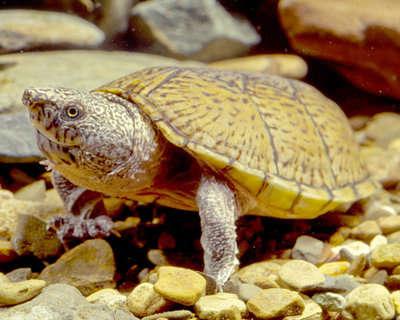 5CLL_A1_Flattened_Musk_Turtle.jpg.fde9dc