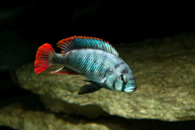 Картинки по запросу Astatoreochromis obliquidens