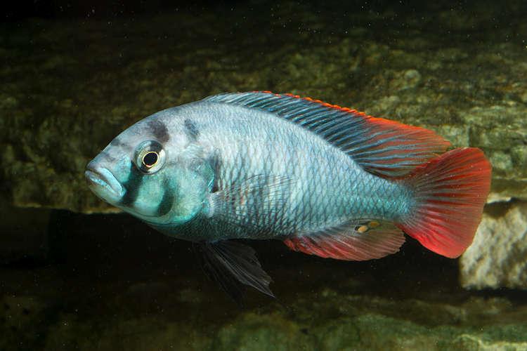 BlueObliquidens8444.jpg