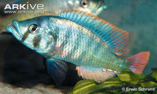 Haplochromis-chilotes.jpg