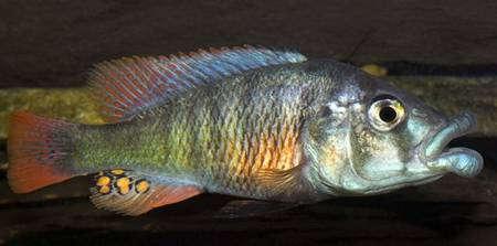Paralabidochromis_chilotes.jpg