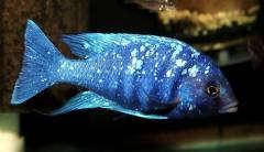 """Placidochromis sp. """"phenochilus Tanzania"""""""