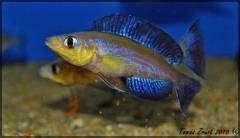 Cyprichromis Microlepidotus Caramba