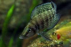 """Altolamprologus calvus """"Black"""", самец"""
