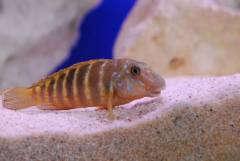 Eretmodus cyanostictus Kasanga