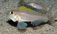 Xenotilapia spilopterus North Tanzania