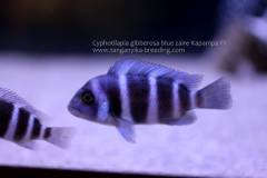 Cyphotilapia gibberosa blue zaire Kapampa F1