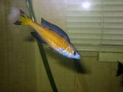 Cyprichromis microlepidotus 'Kasaj'