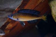 Cyprichromis microlepidotus 'kassei'