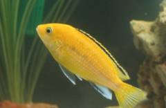 Инна Ч  - Labidochromis Yellow