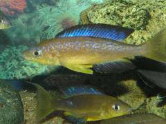 Cyprichromis microlepidotus 'Karilani'