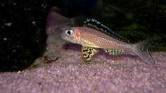 Xenotilapia papilio 'Tembwe II самка