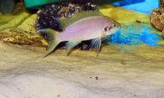 Neolamprologus brichardi Kiku самец1