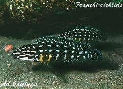 Julidochromis marlieri Magara