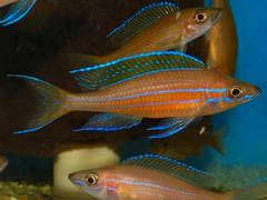Paracyprichromis nigripinnis