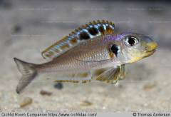 Xenotilapia sp. 'bathyphilus yellow'