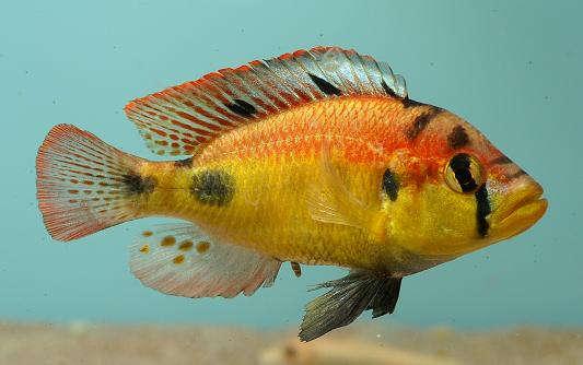 Haplochromis_aeneocolor.jpg