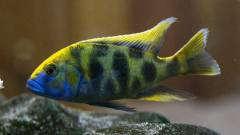 Nimbocromis Venustus