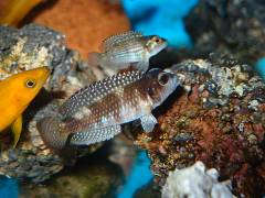 «Lamprologus» stappersii